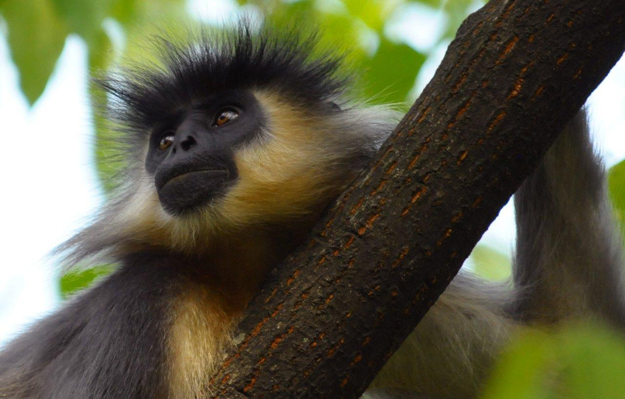 Indian Animals - Hanuman Langur